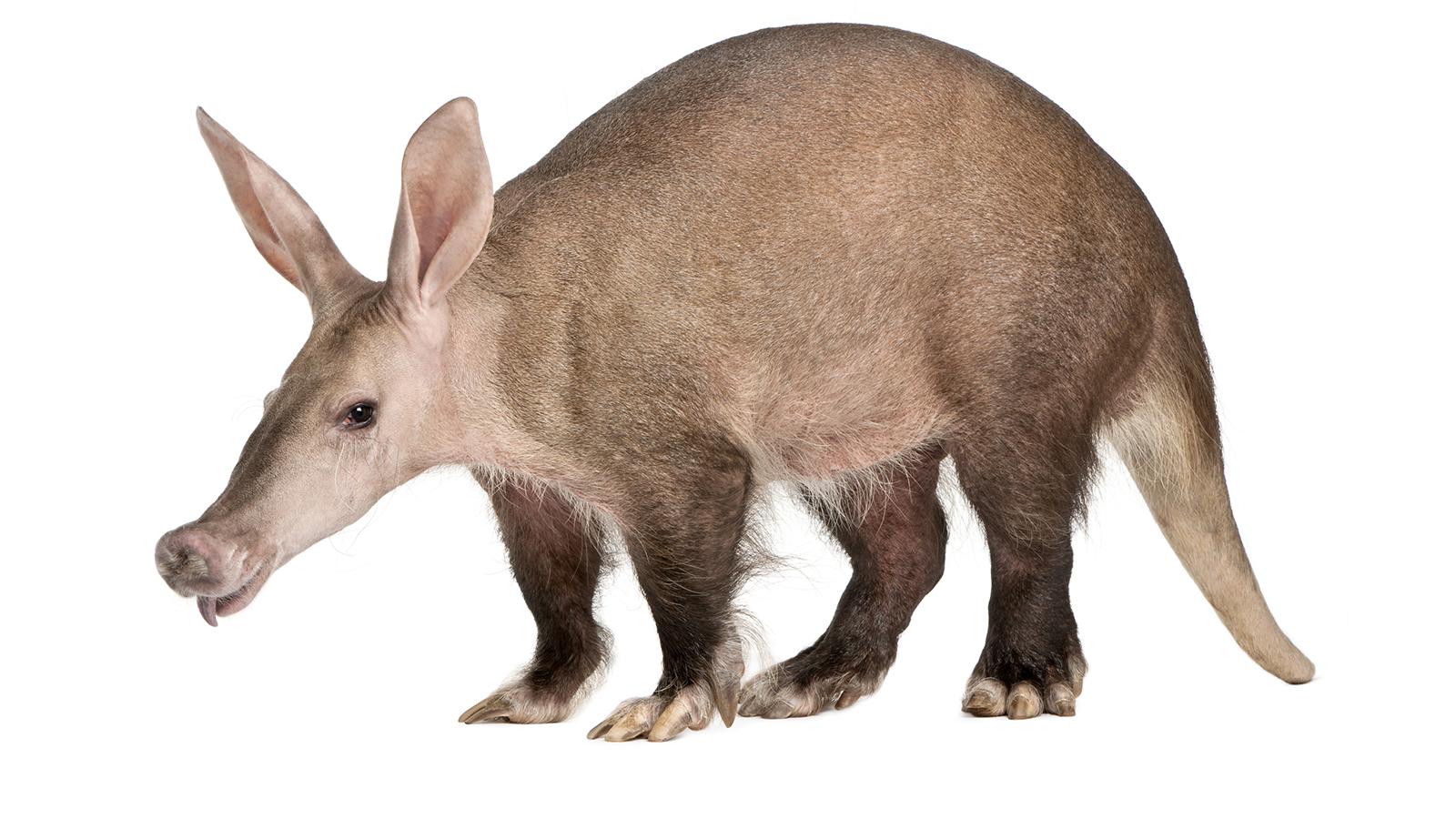 Aardvark animal image