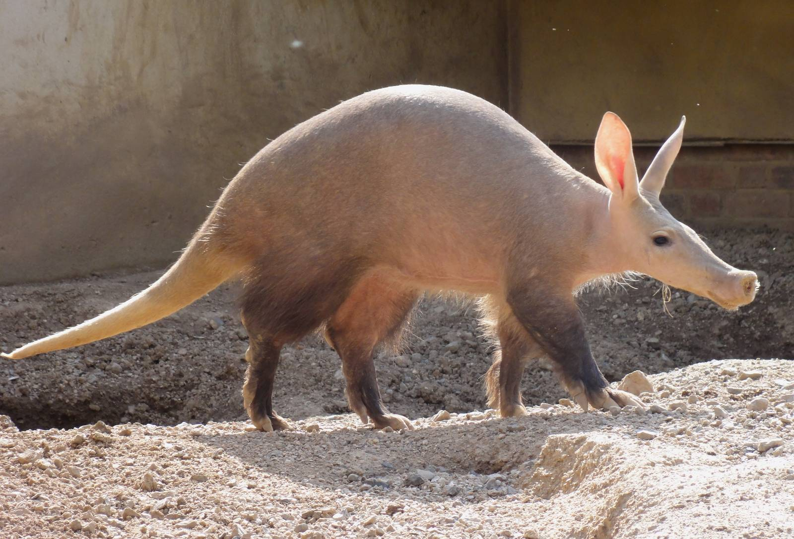 Aardvark animal pictures
