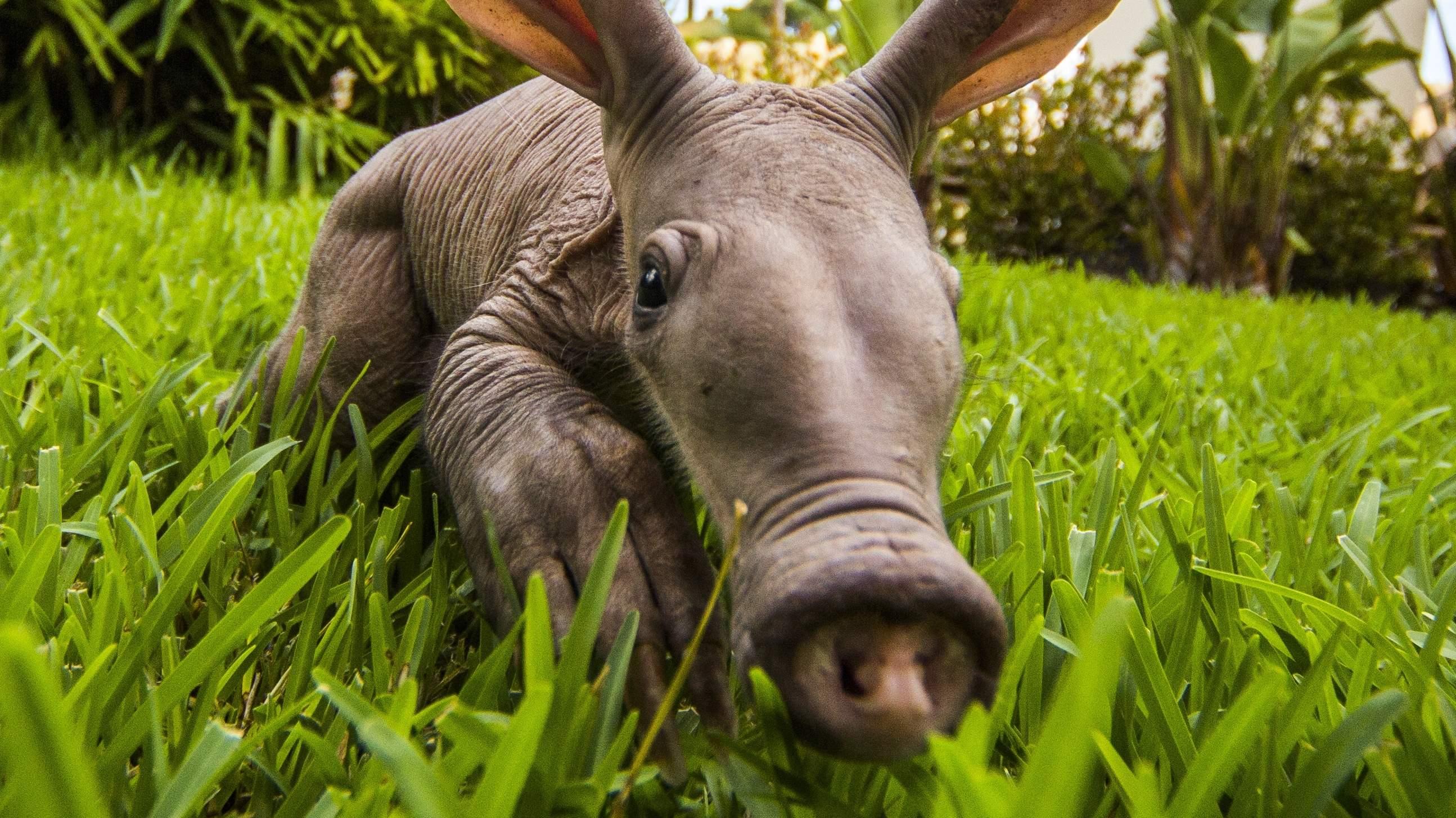Aardvark photos