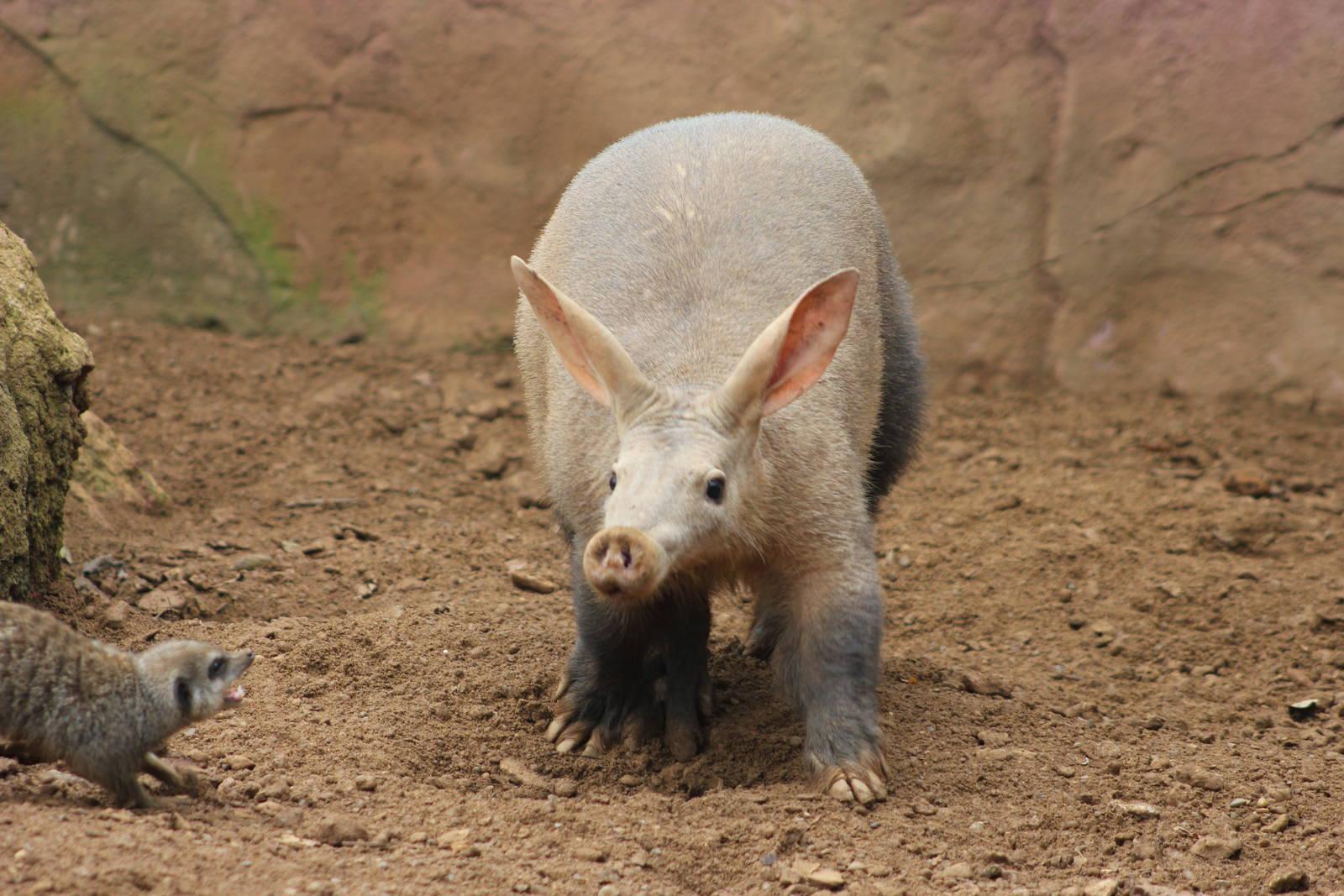 Aardvark wallpaper