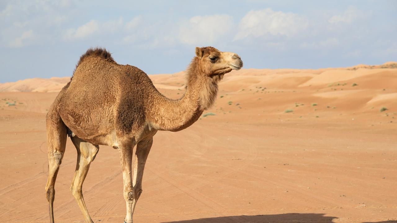 Animal camel images
