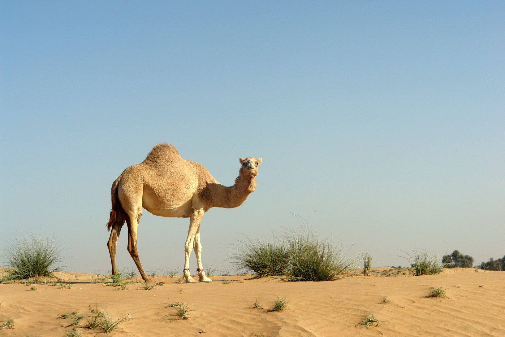 Animal camel photos