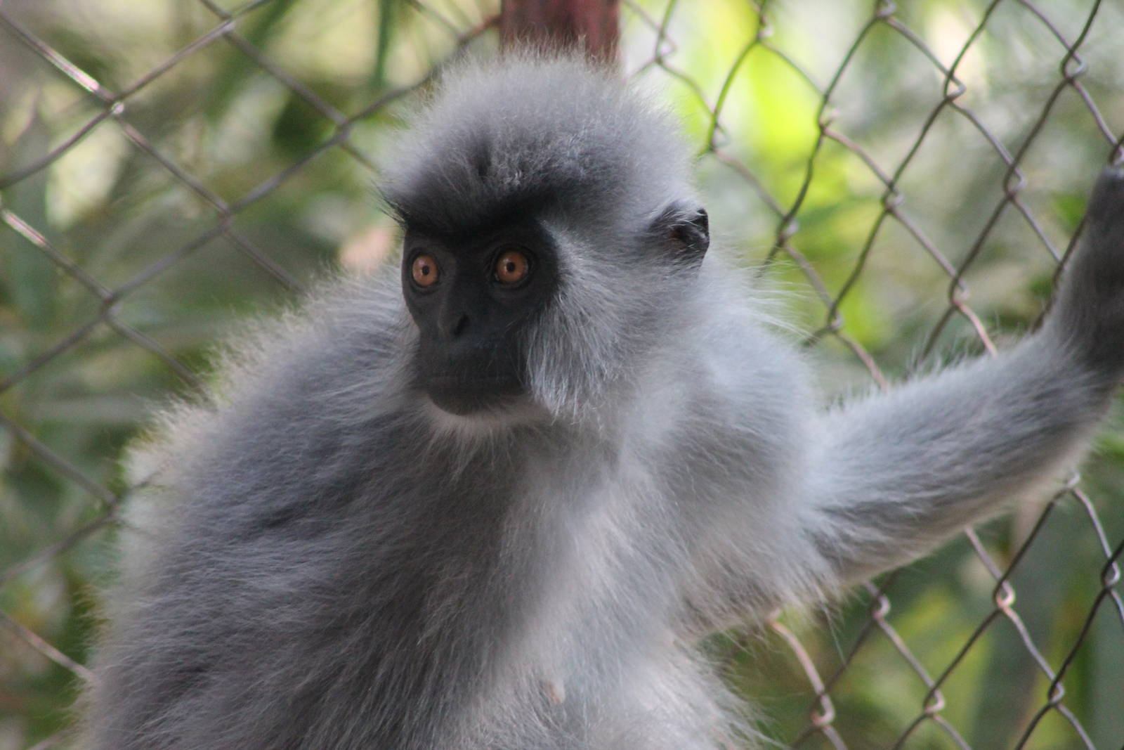 Animal phayre's langur photos