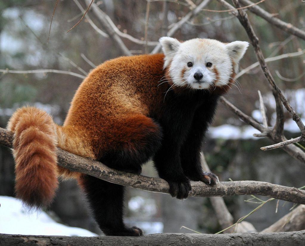 Animal red panda animal standing