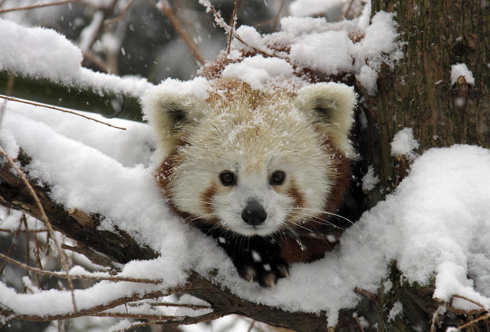 Animal red panda wallpaper