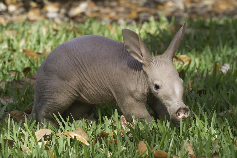 Baby aardvark pictures