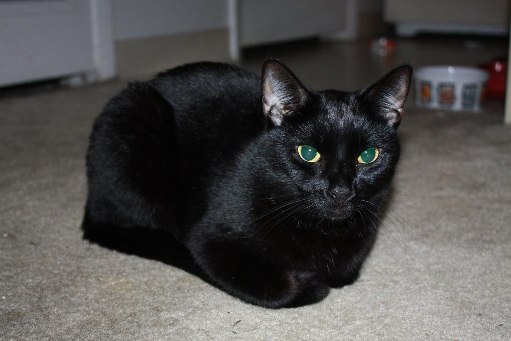 Black cat animal pic
