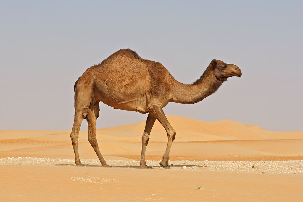 Camel running pictures