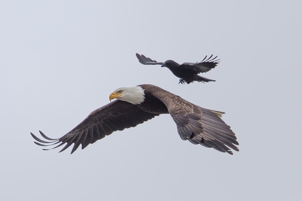 Eagle with crow flying
