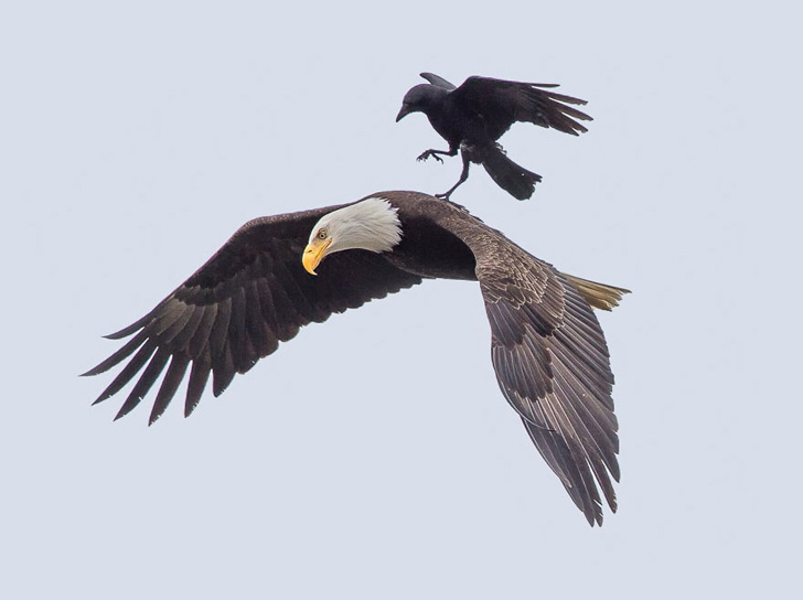 Eagle with crow photo