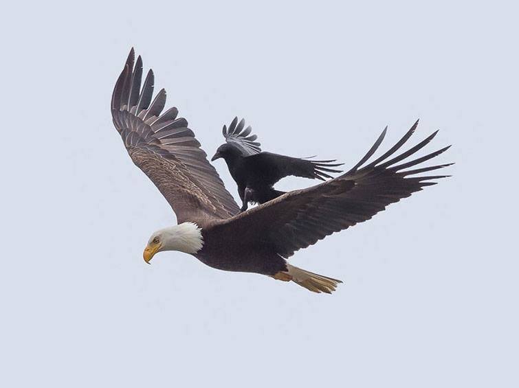 Eagle with crow pictures
