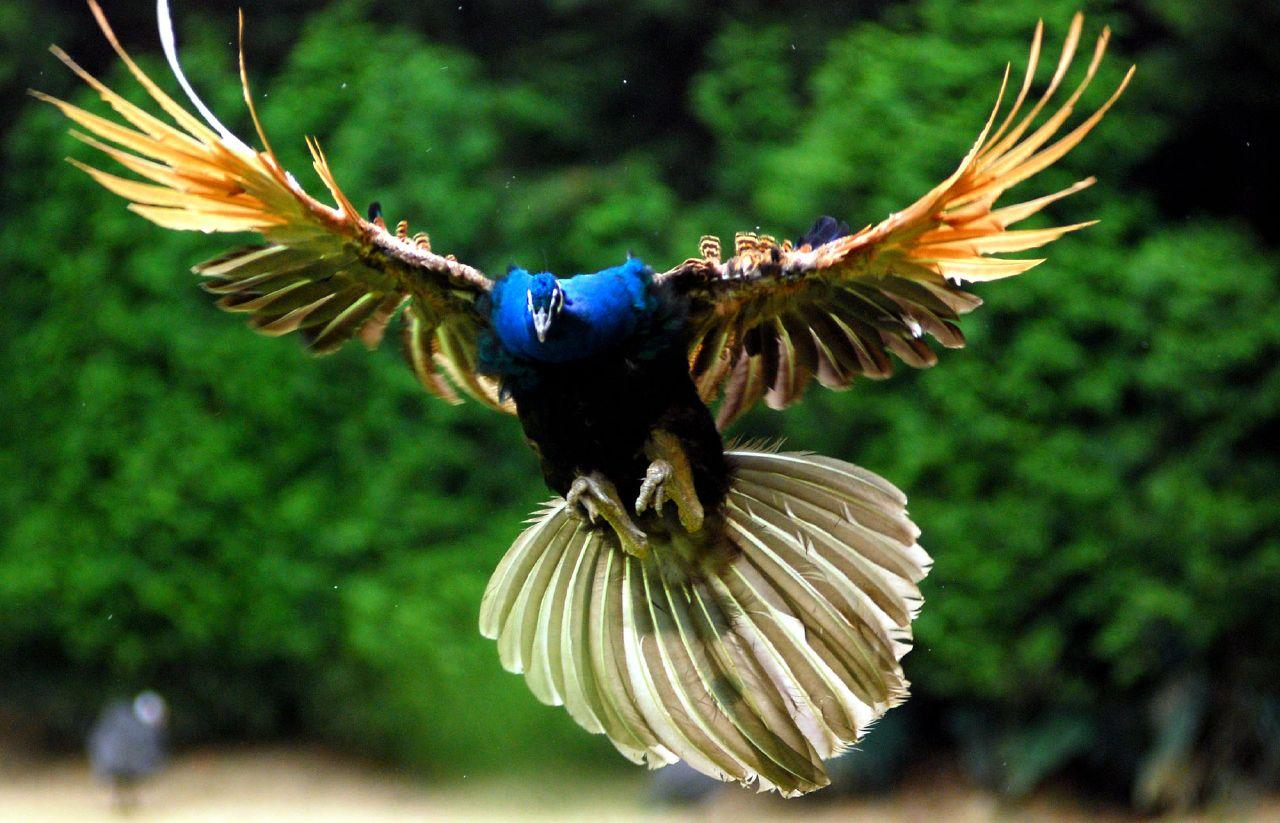 Flying peacock hd wallpaper