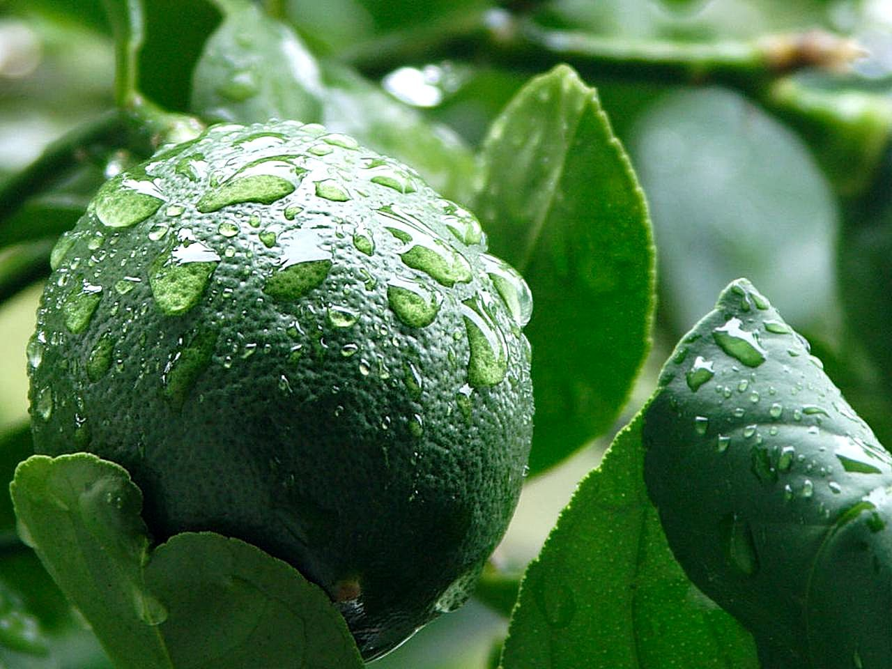 Green lemon pictures
