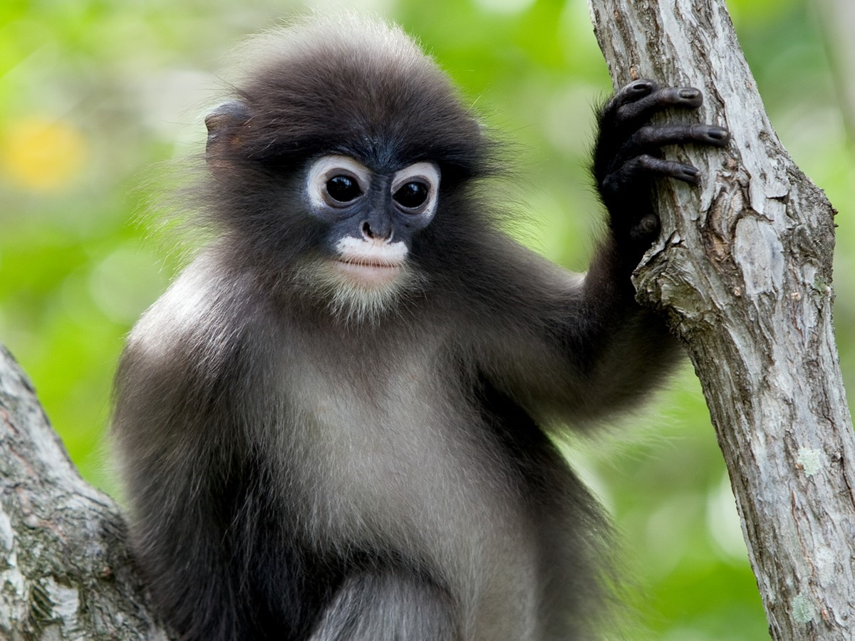 Phayre's langur animal photos