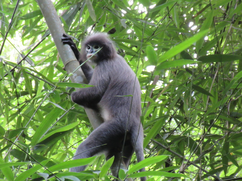Phayre's langur animal