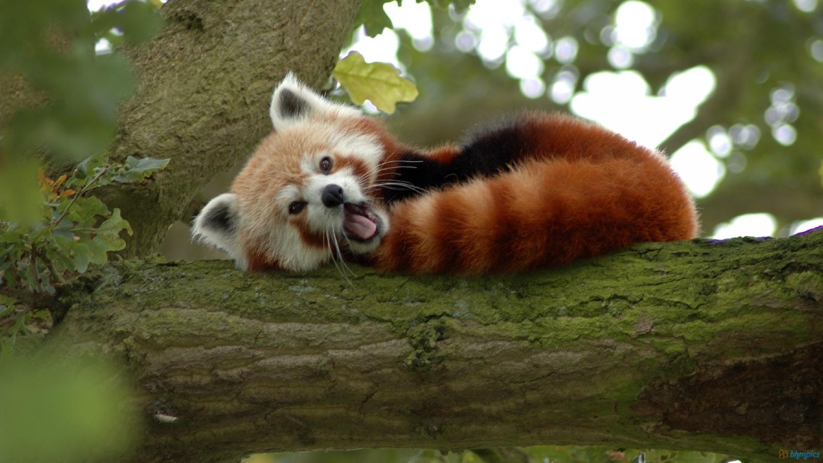 Red panda animal photos