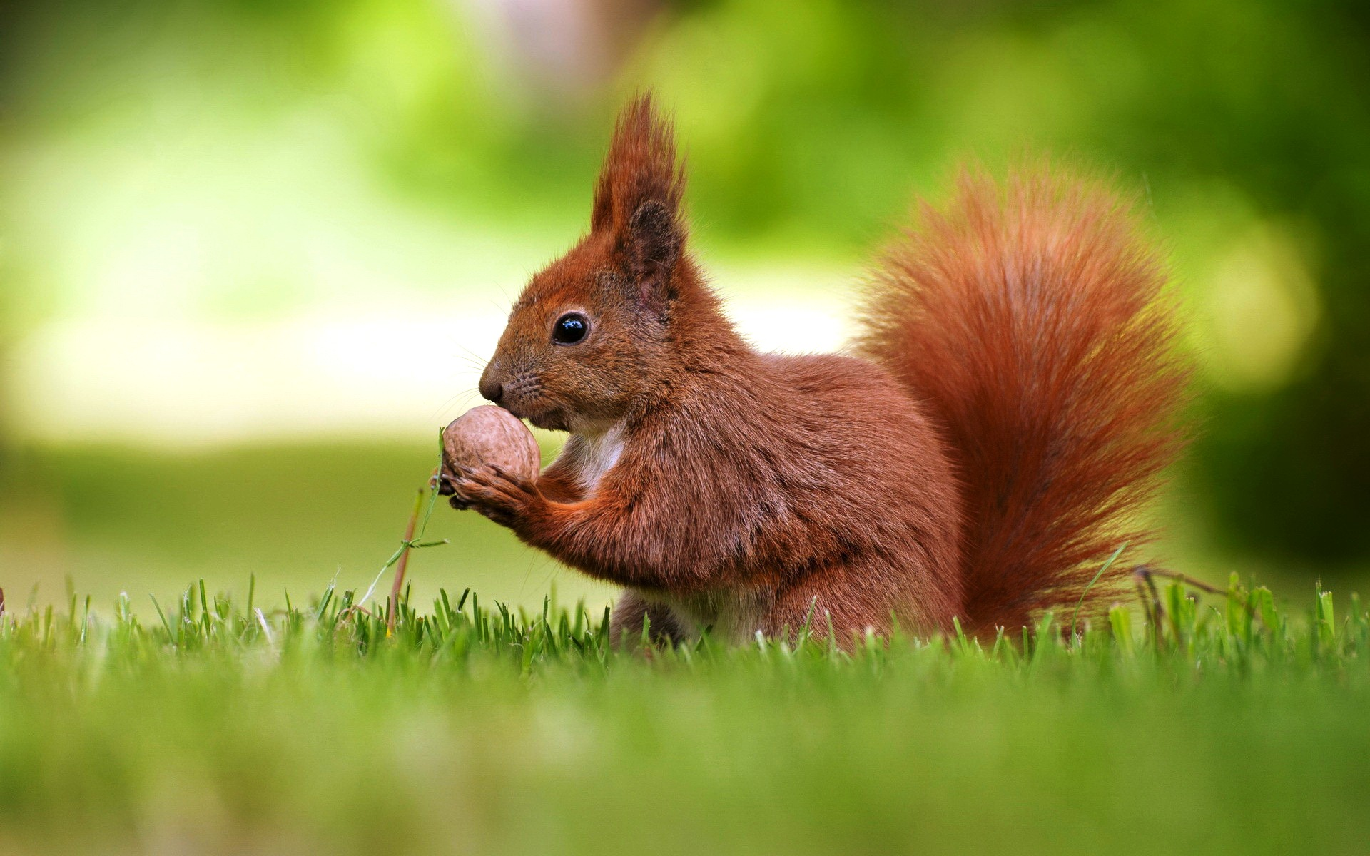 Red small squirrel wallpapers