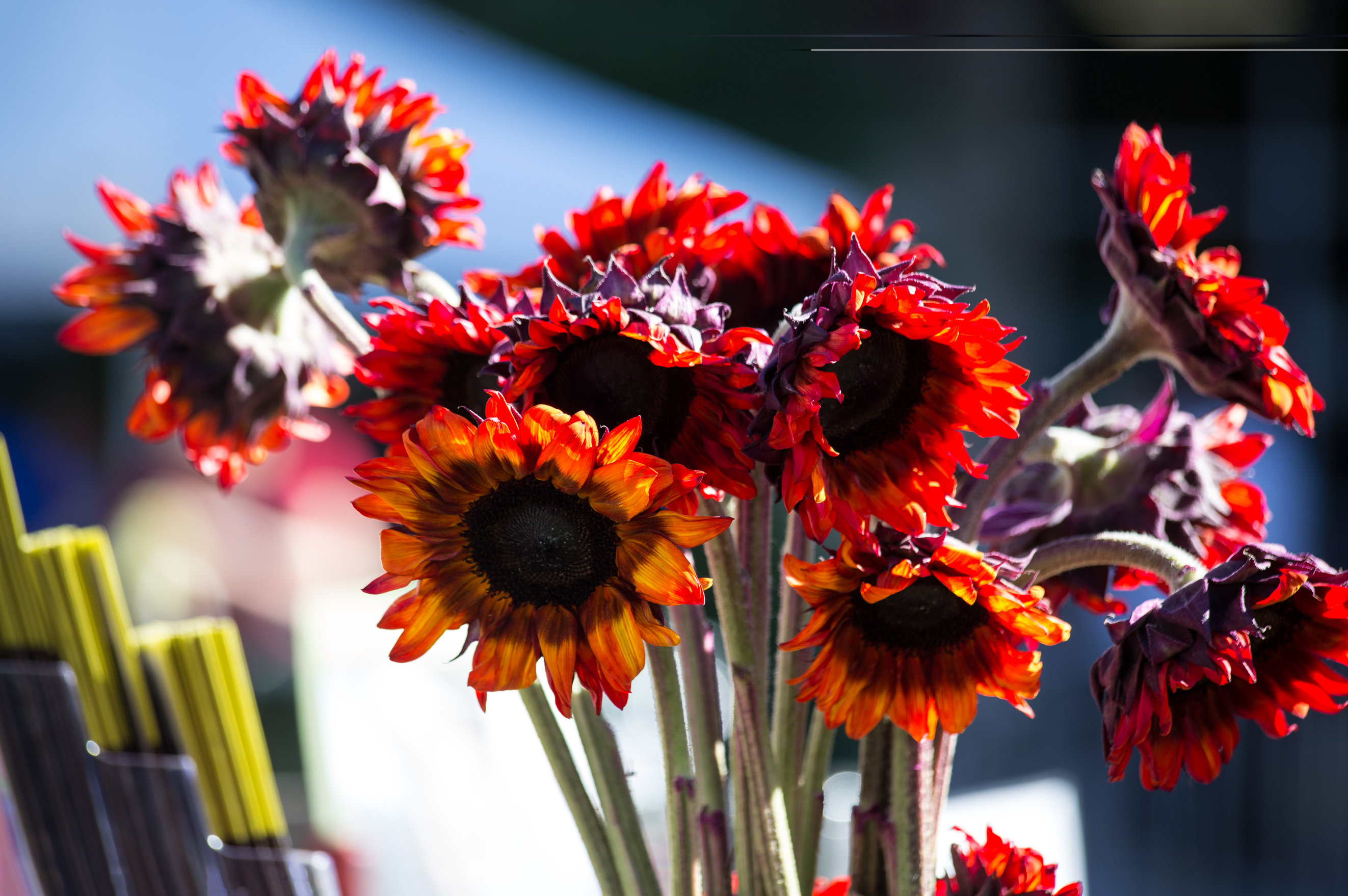 Red sunflower photos