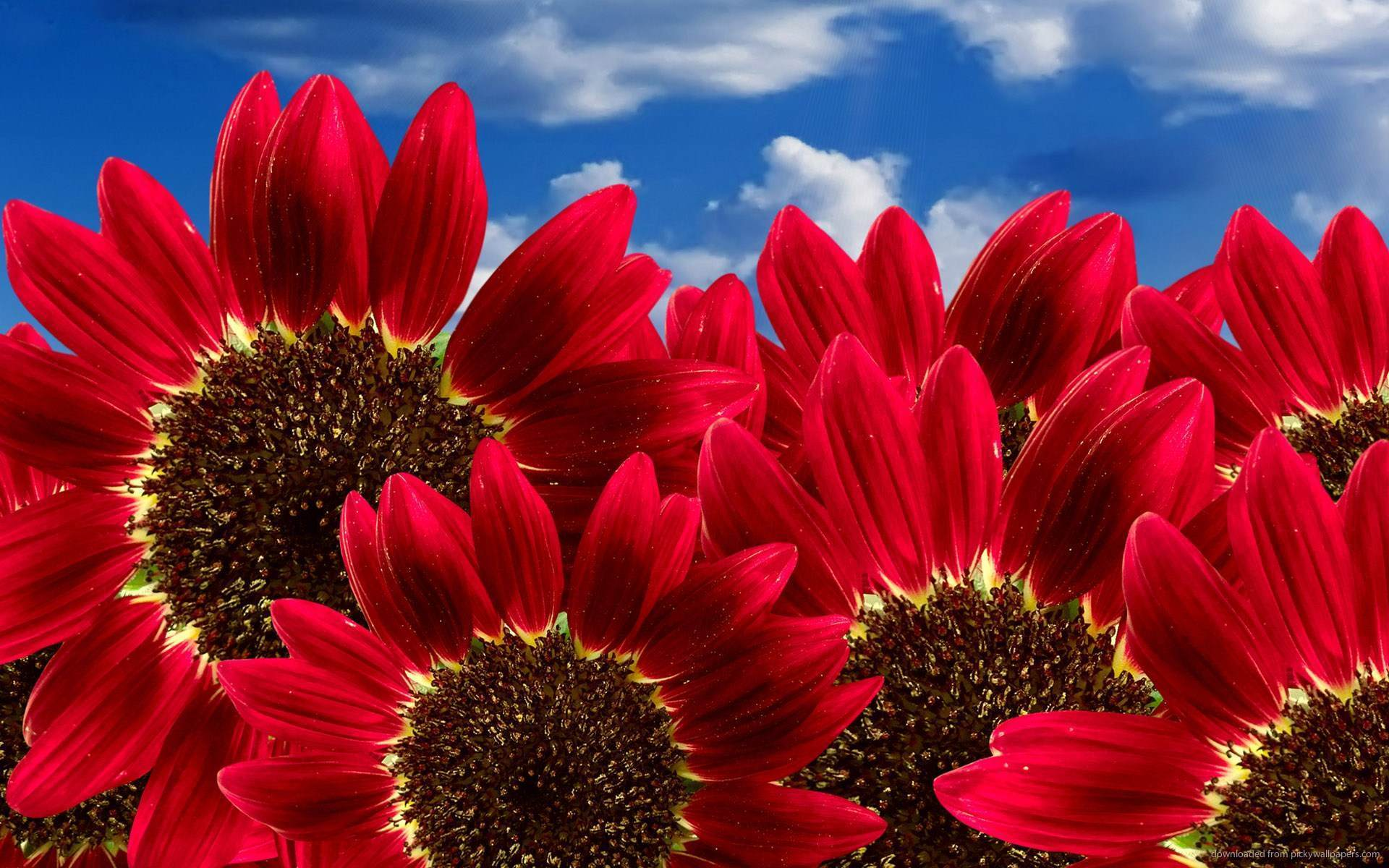 Red sunflower wallpaper