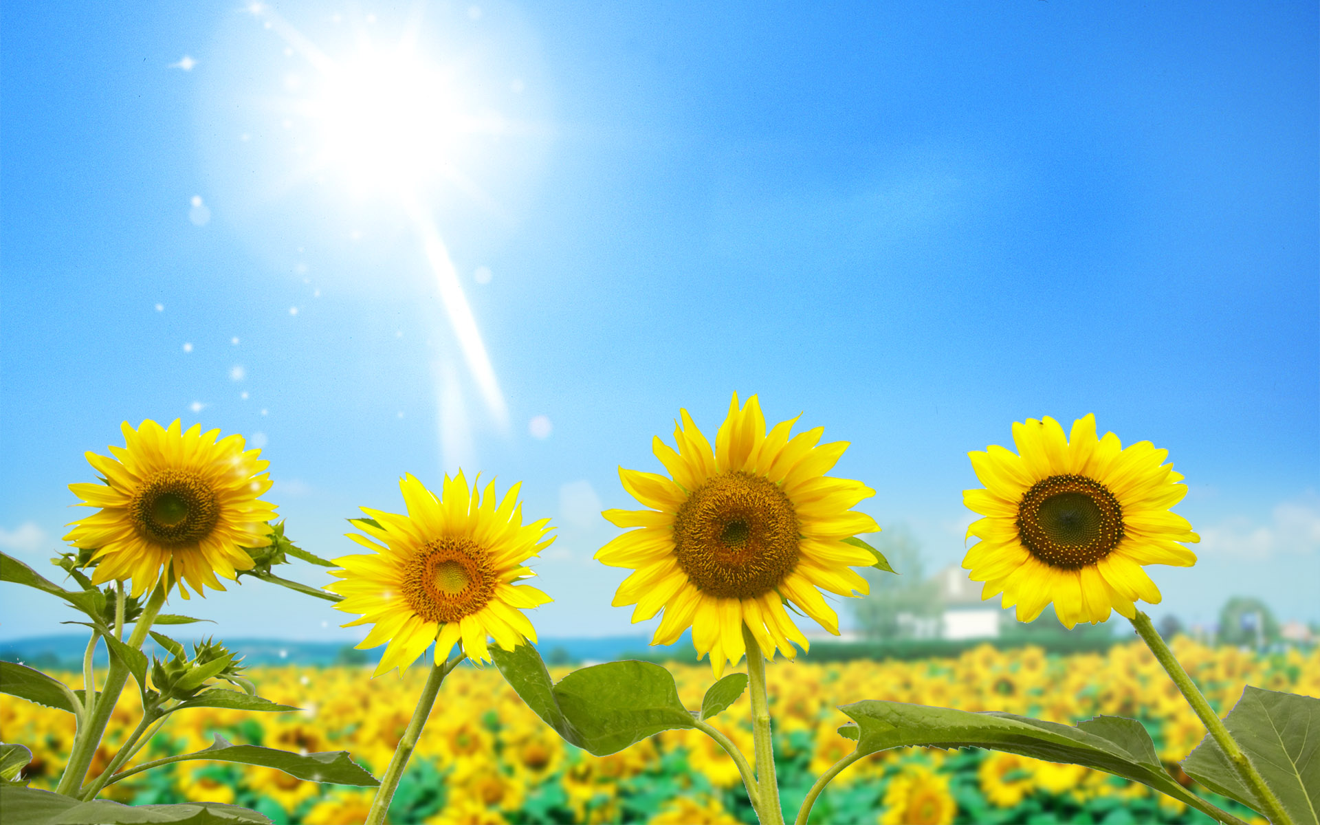 Sunflower with sun wallpaper
