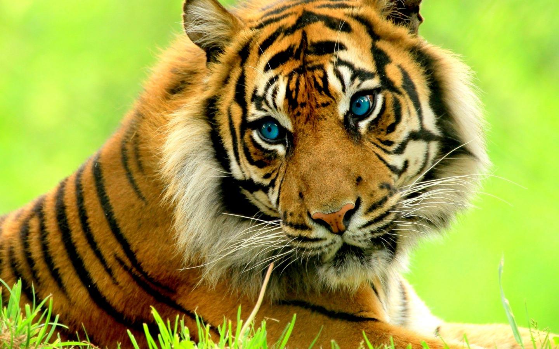 Tiger aniaml photos