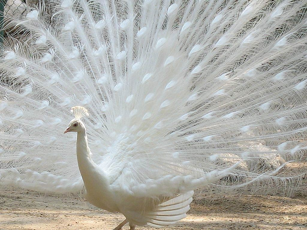 White peacock dance pictures