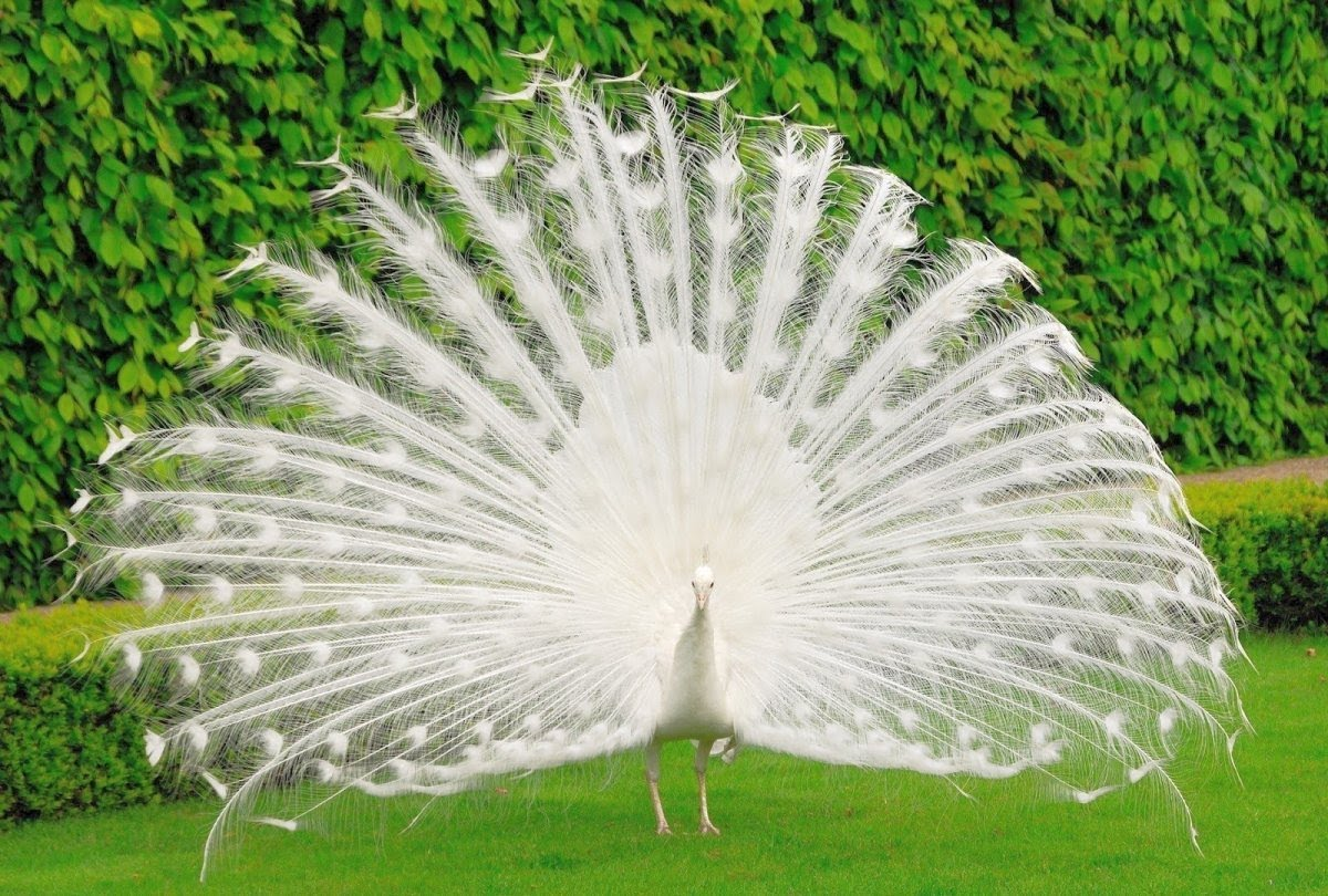 White peacock pictures