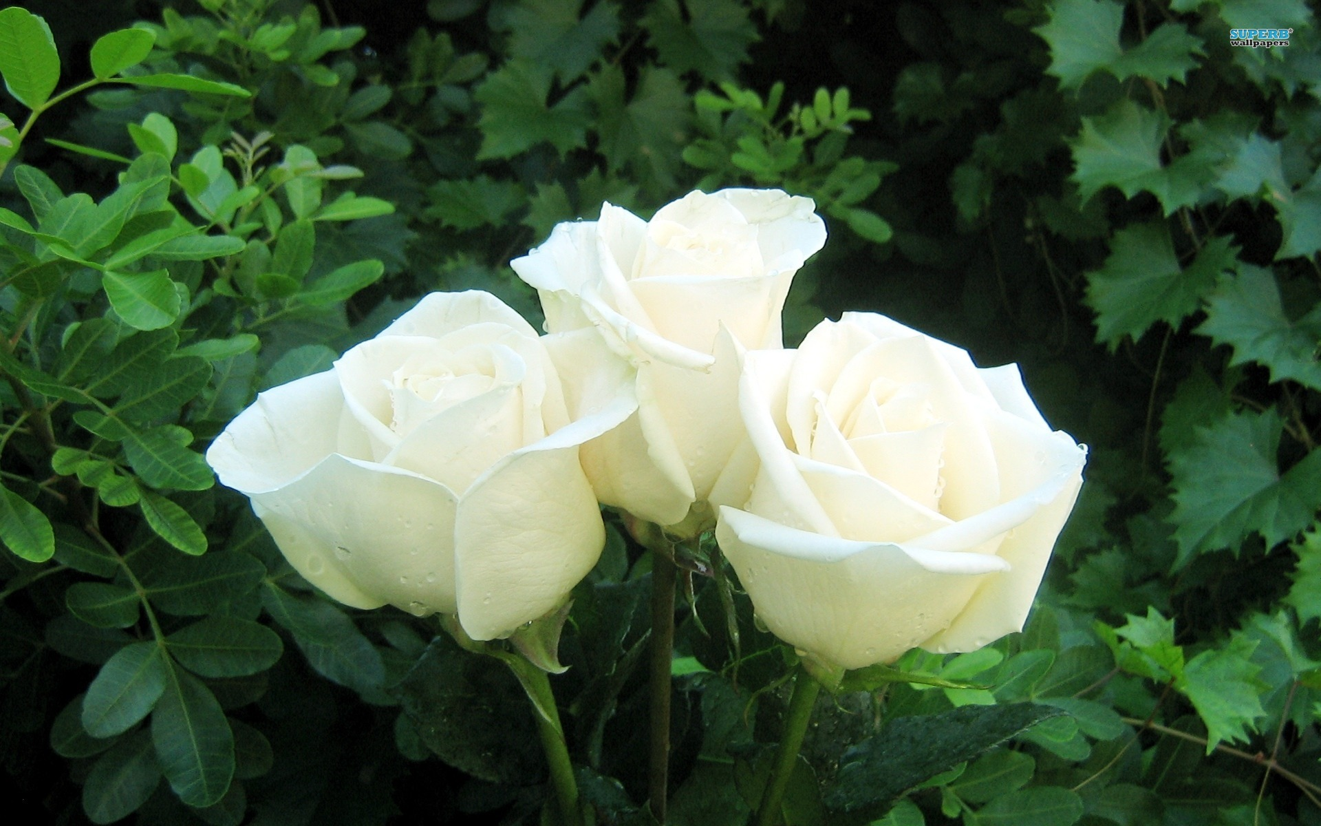 White rose pictures