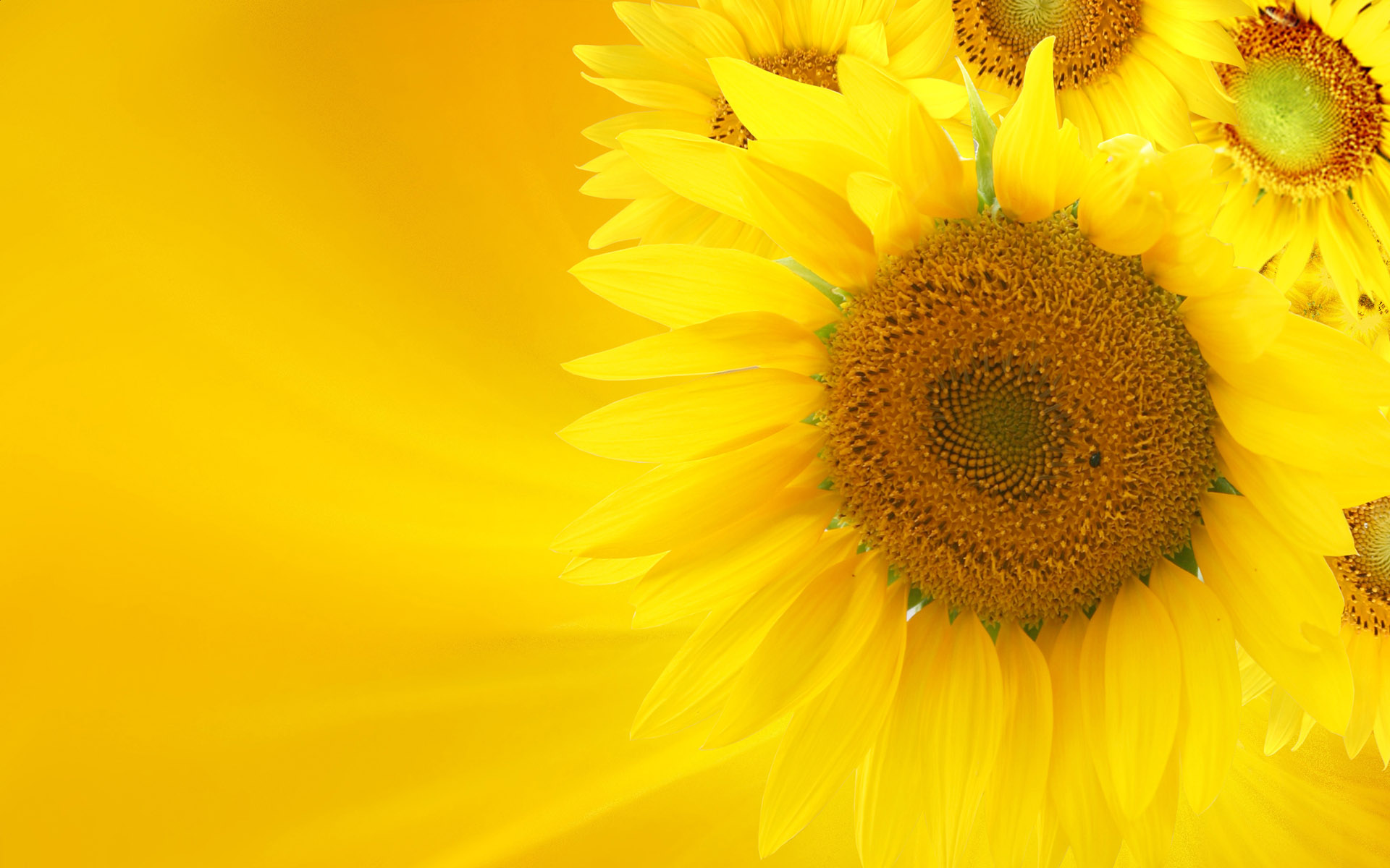 Yellow sunflower wallpaper