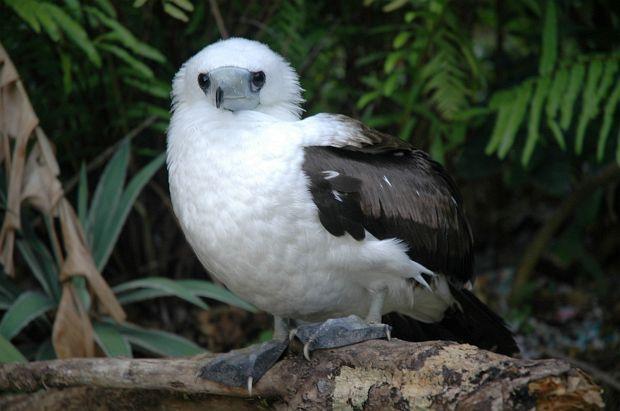 Abbotts booby bird image
