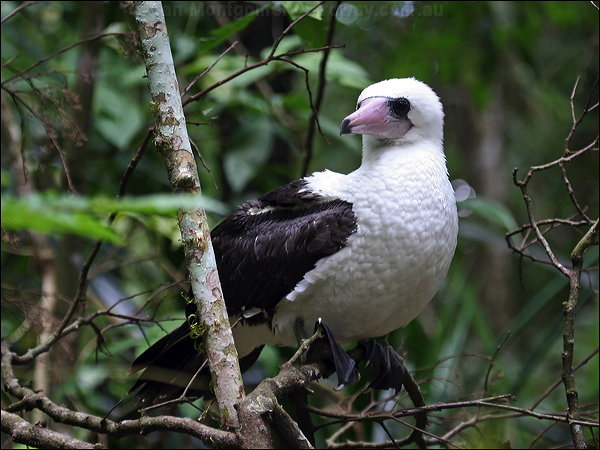Abbotts booby bird photo