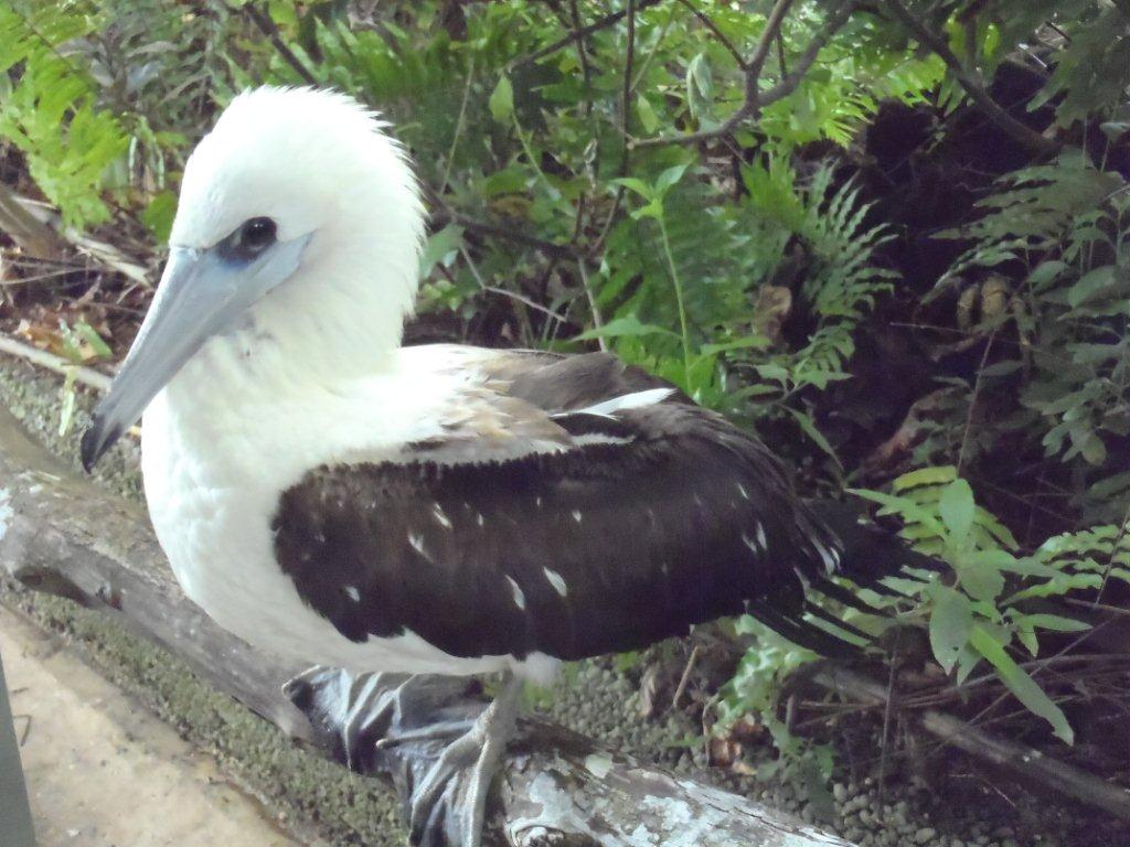 Abbotts booby image