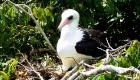 Abbotts booby photo