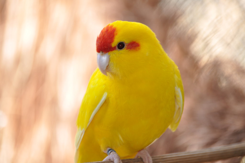 Yellow parrot pictures