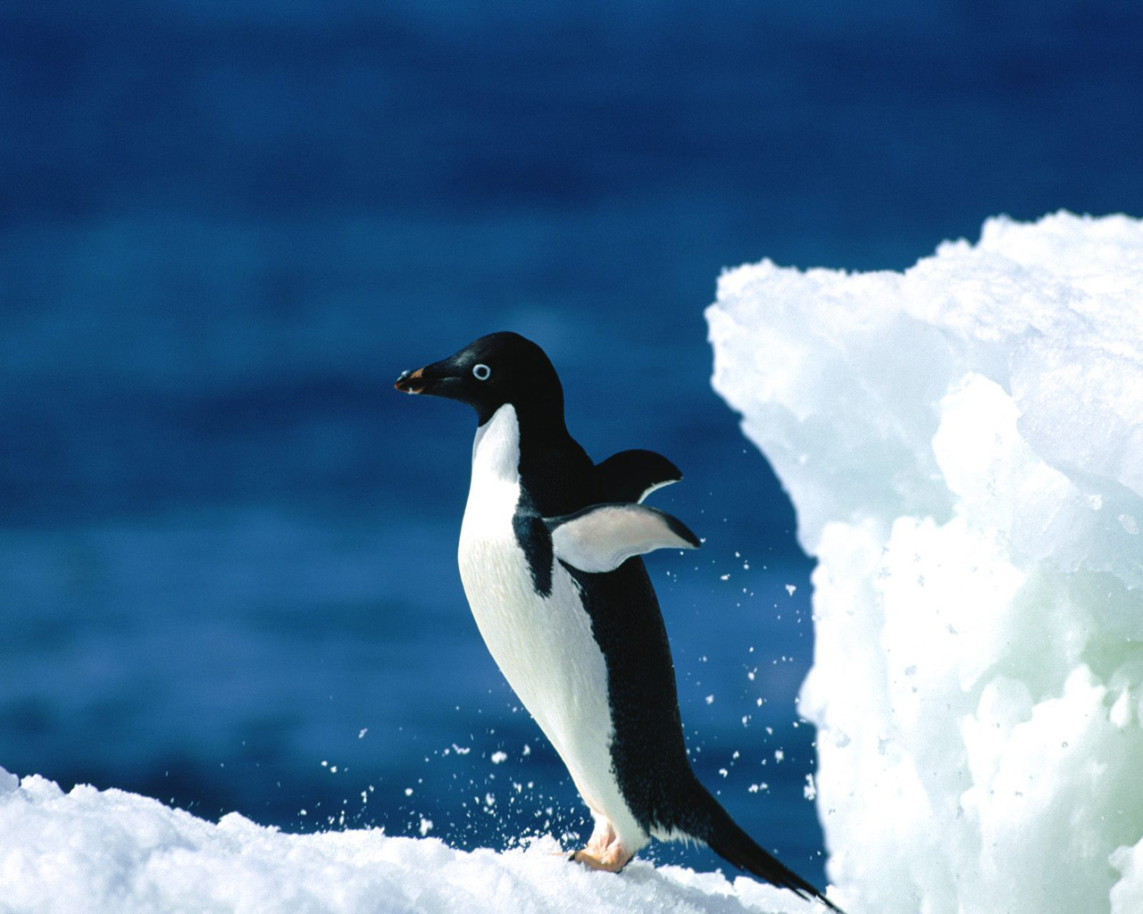 Adelie penguin flying photos