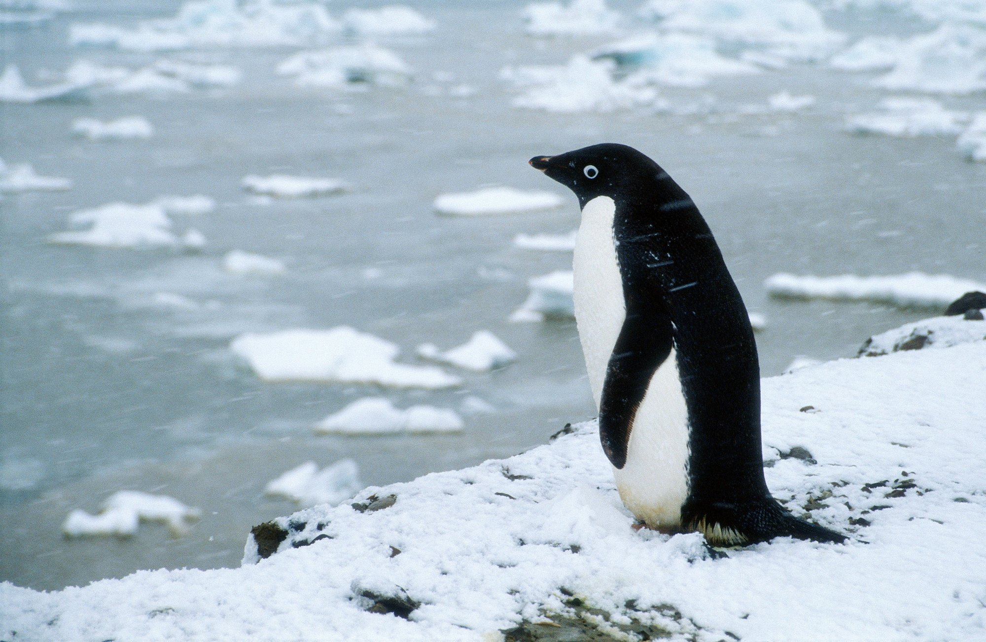 Adelie penguin photos