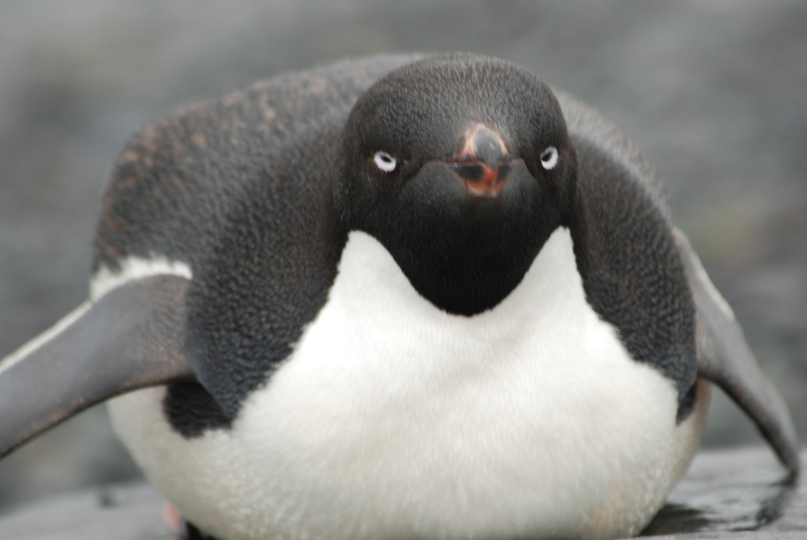 Adelie penguin wallpapers