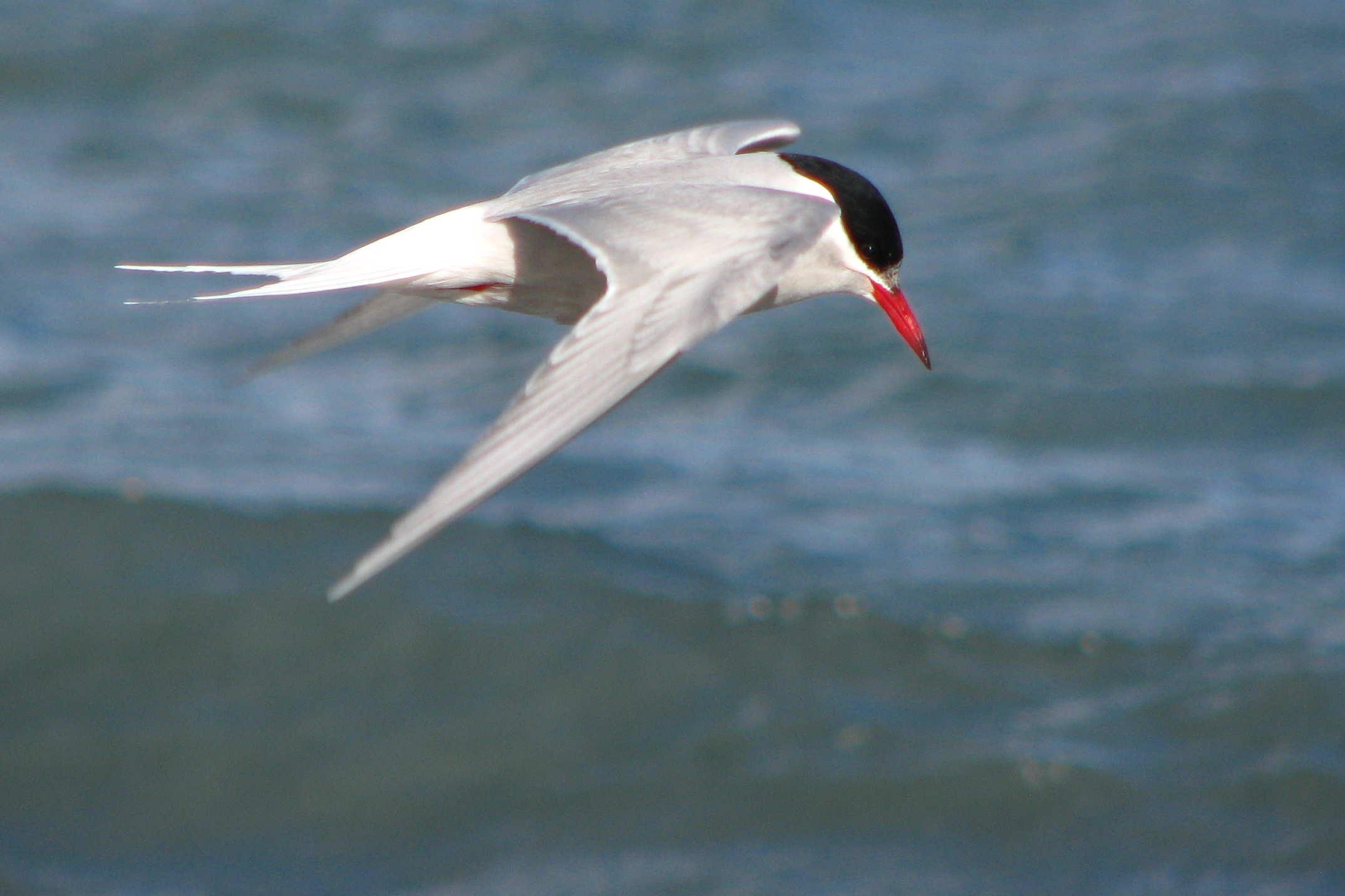 Antarctic tern bird pictures