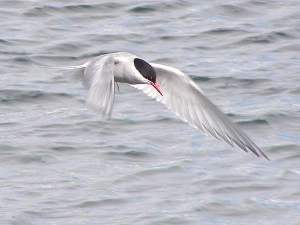 Antarctic tern flying bird