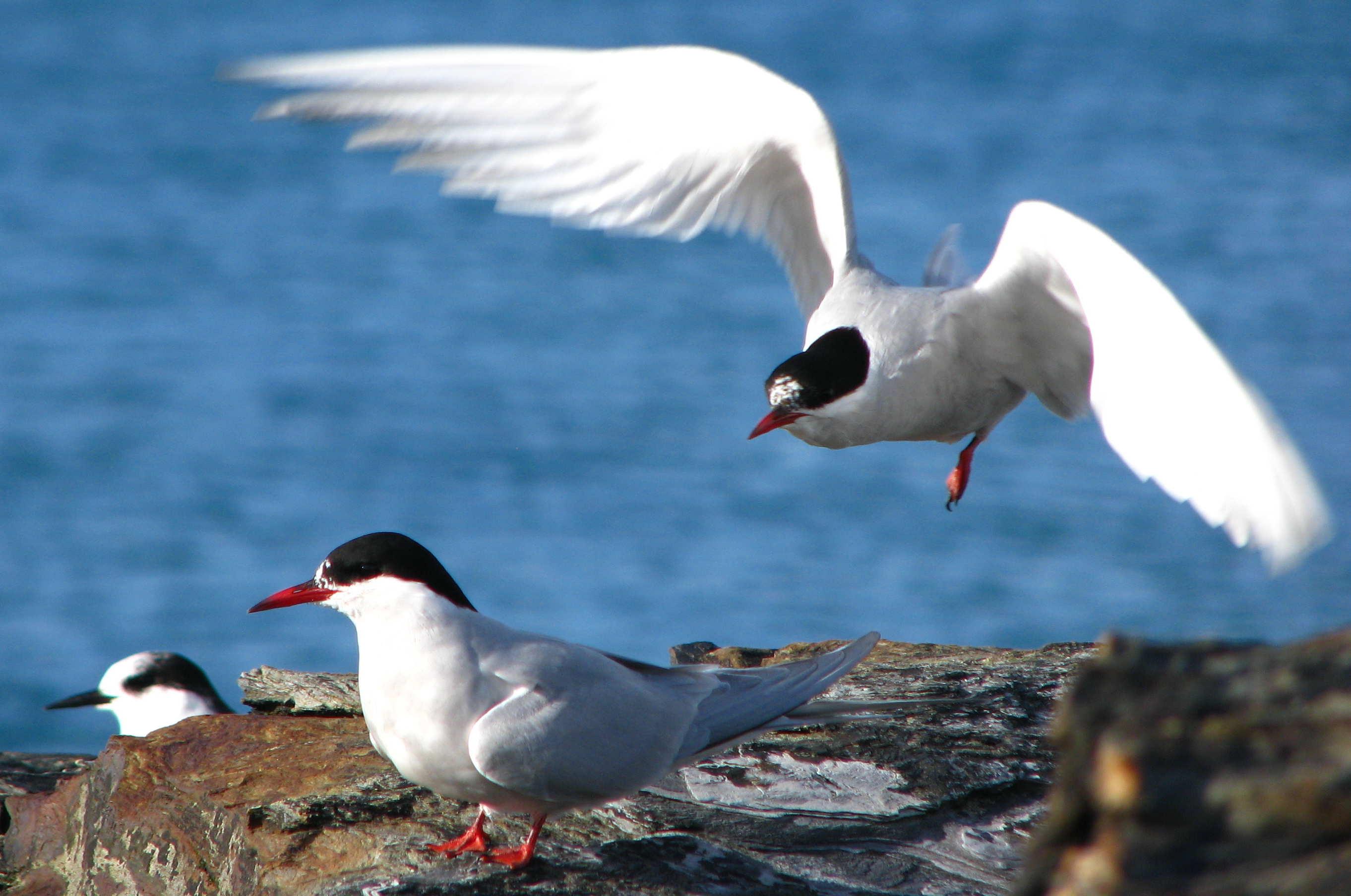 Antarctic tern image