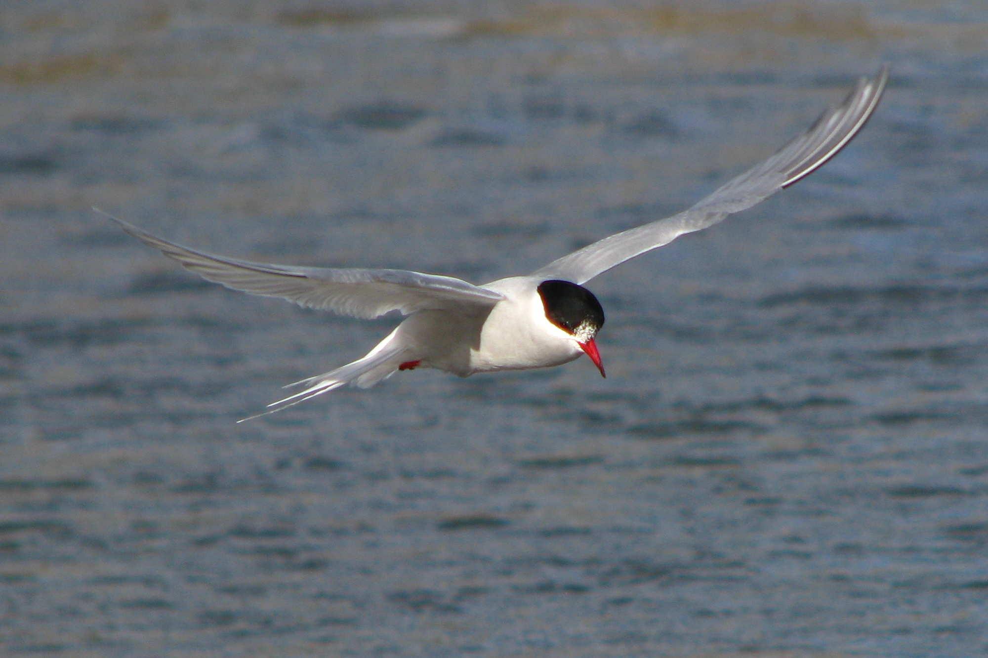 Antarctic tern photos