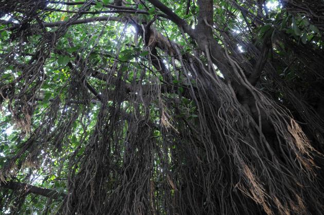 Ficus benghalensis photos