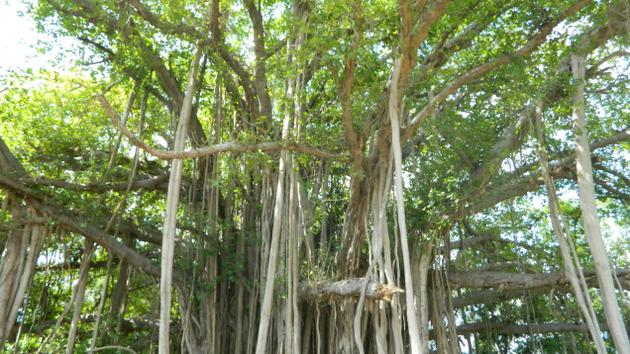Ficus benghalensis pictures