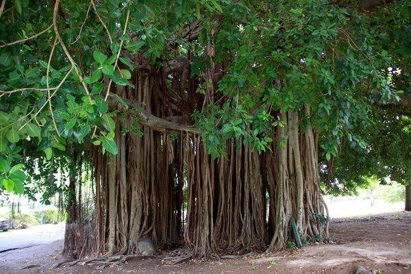 Ficus benghalensis wallpaper