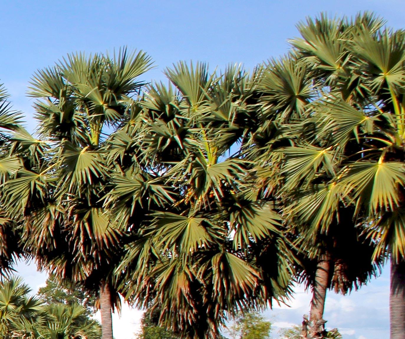 Group sugar palm trees
