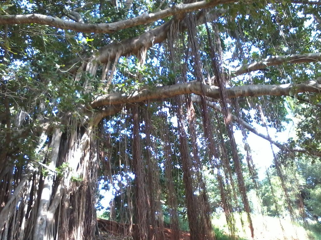 Indian banyan pictures