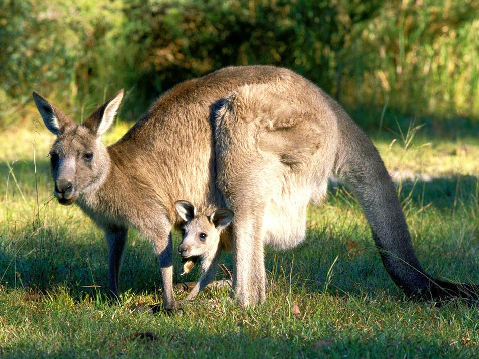 Kangaroo with baby wallpaper