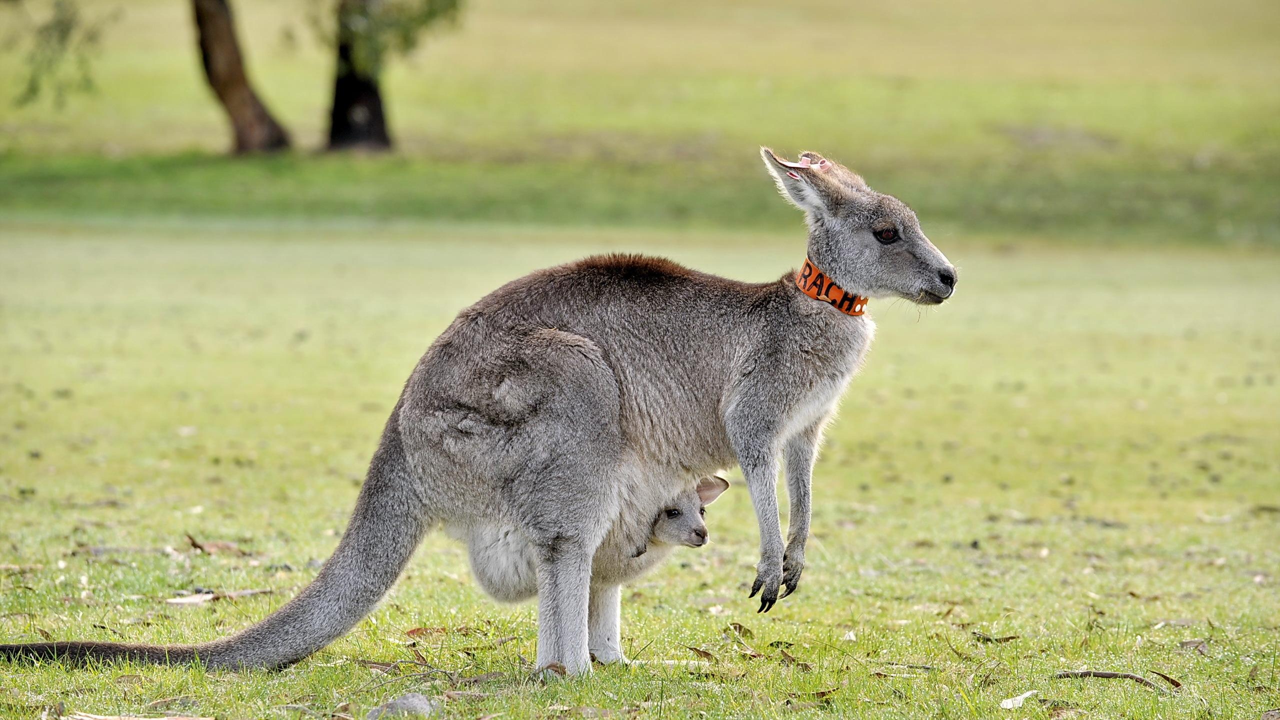 Kanguru pictures