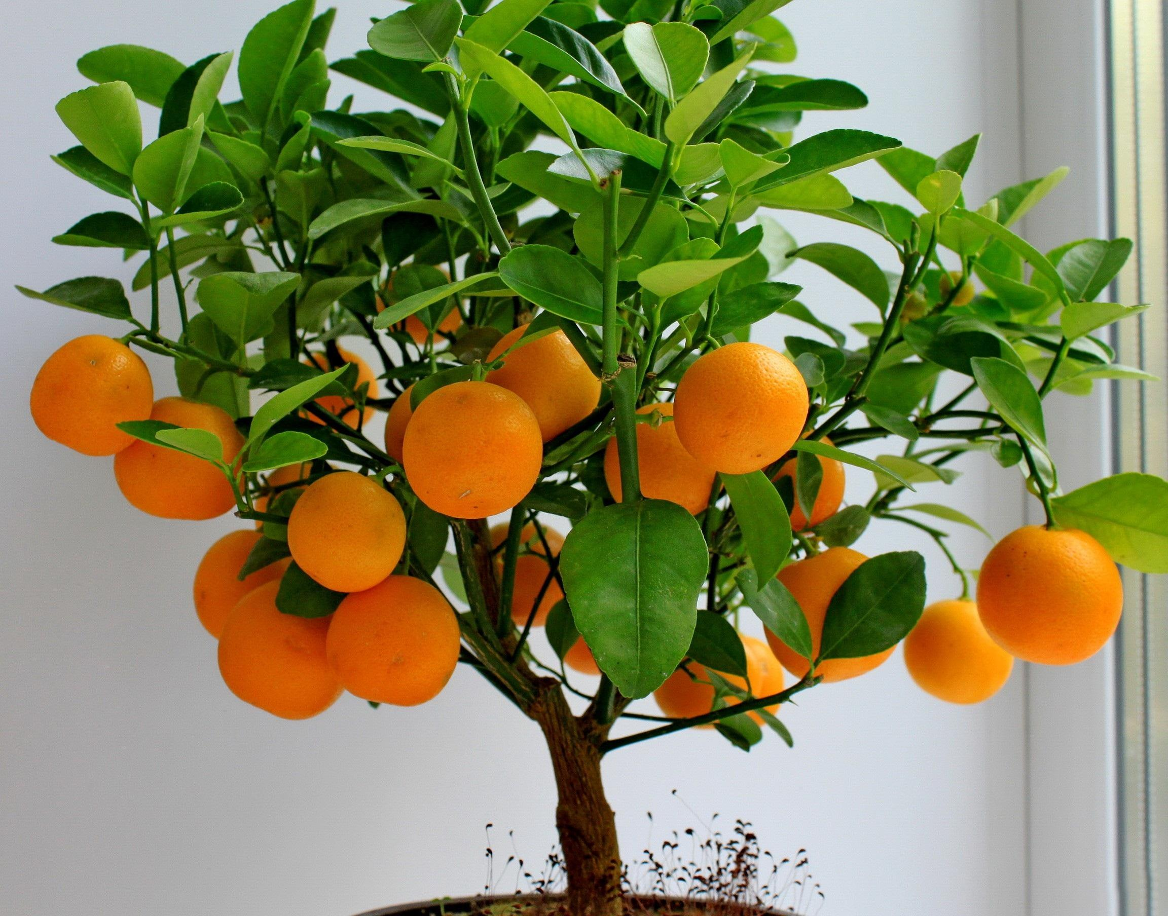 Orange tree photos