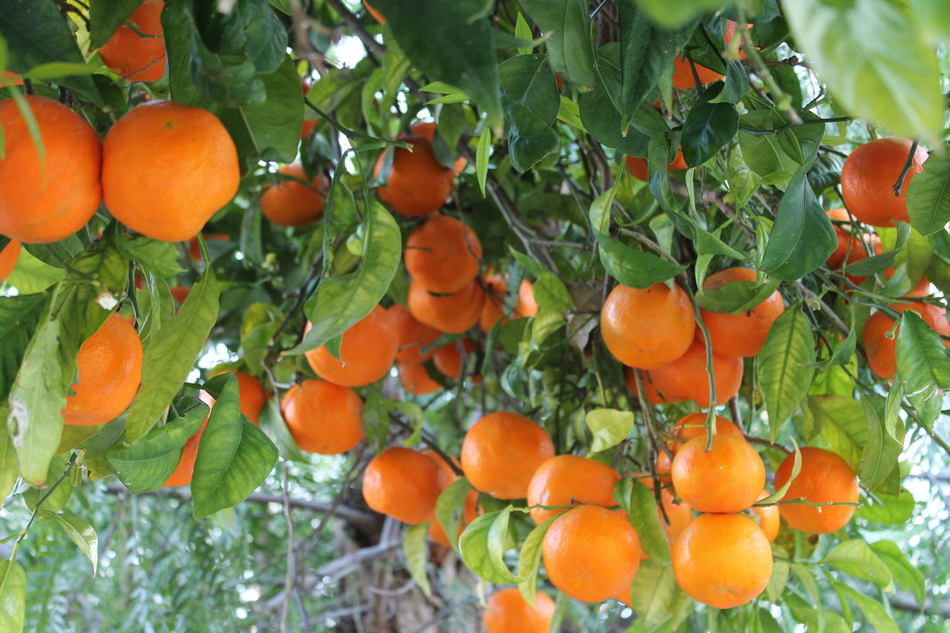 Orange tree pictures